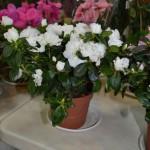 Цветочная лака_купить азалию в Мелитополе