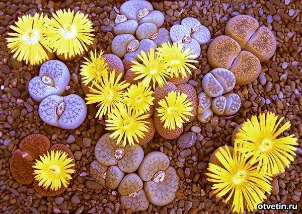Цветущие камни  Планета АГРО Мелитополь