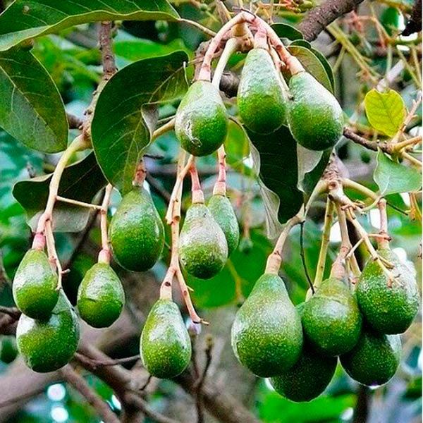 Авокадо для суші